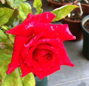 roseosaka