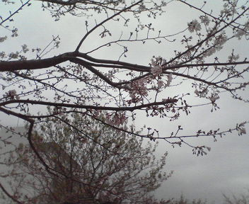 東品川海上公園の桜