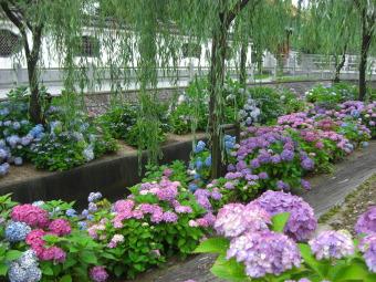 燕趙園の紫陽花