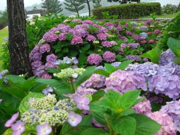 東郷湖畔、燕趙園側からの紫陽花