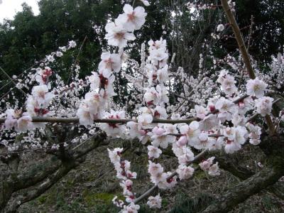 野花の梅の花