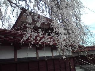 極楽寺しだれ桜