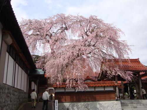 極楽寺しだれ桜2