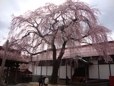 極楽寺しだれ桜3