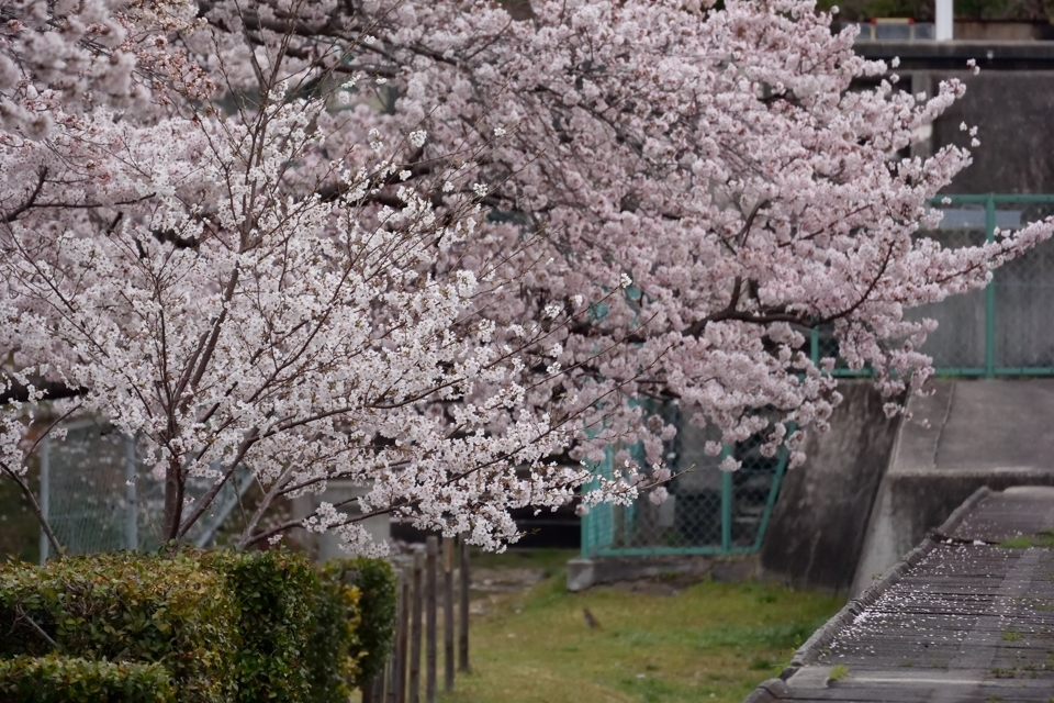 sakura-miyoshi_62.jpg