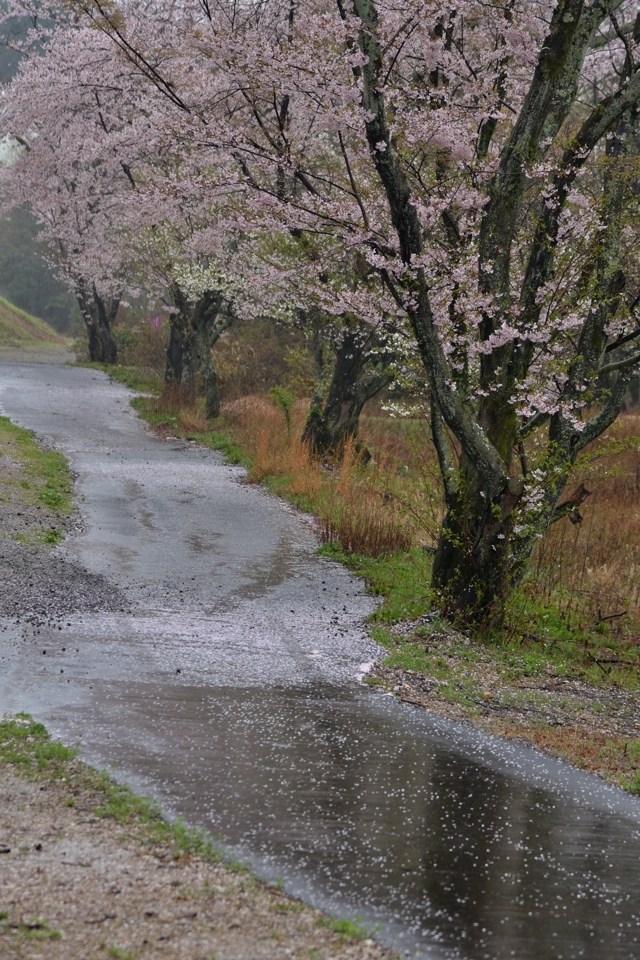 goshikien-sakura_3.jpg