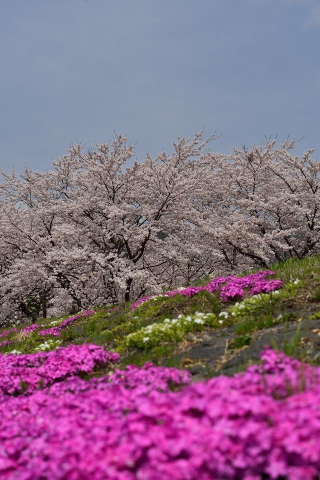 富士五湖_桜名所_写真2.jpg