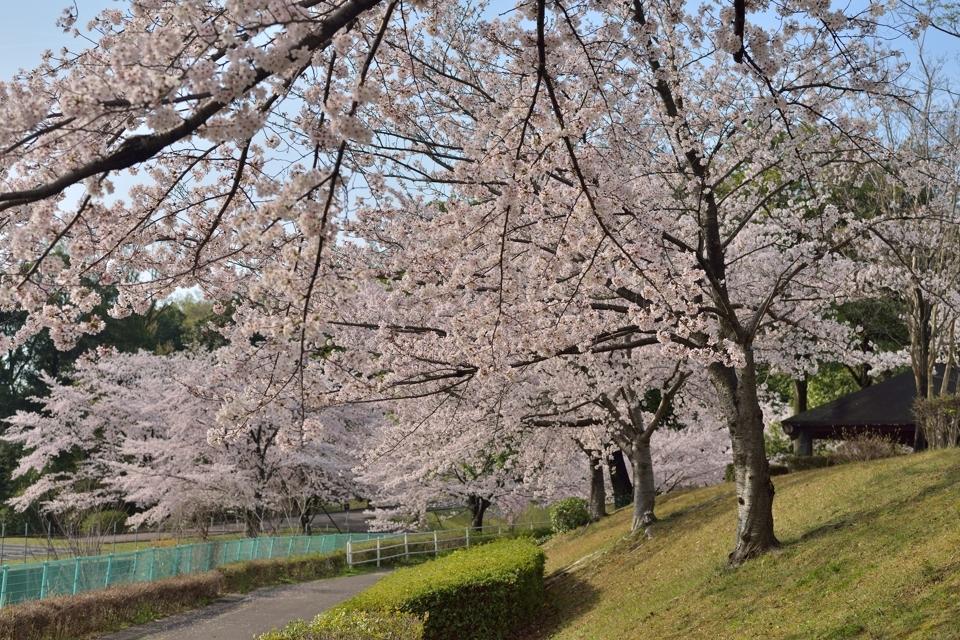 豊田市美術館_桜7.jpg