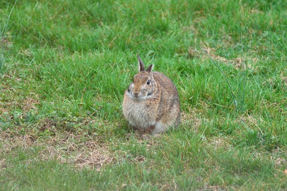 庭に野ウサギ1.jpg