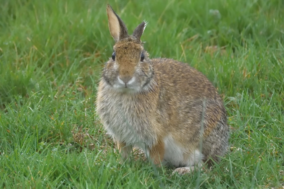 庭に野ウサギ2.jpg