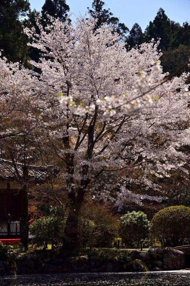 醍醐寺_桜写真1.jpg