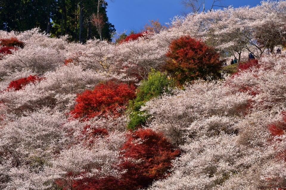 川見四季桜の里_豊田市小原1.jpg