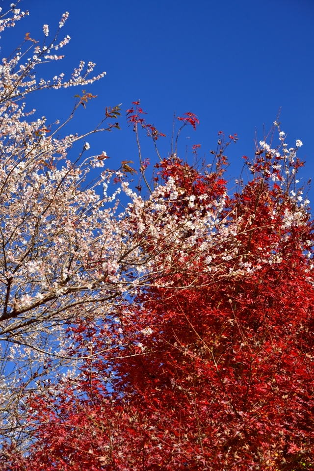 川見四季桜の里_豊田市小原3.jpg