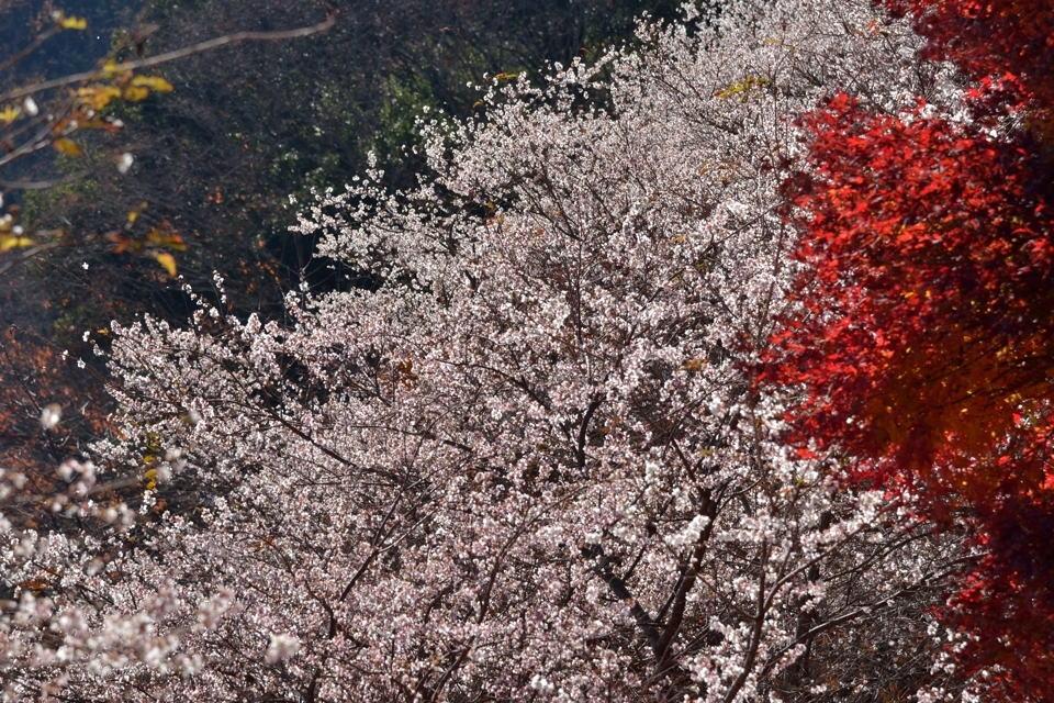 川見四季桜の里_豊田市小原4.jpg