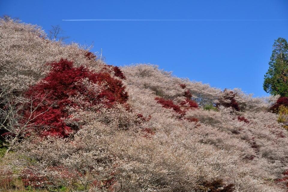 川見四季桜の里_豊田市小原5.jpg