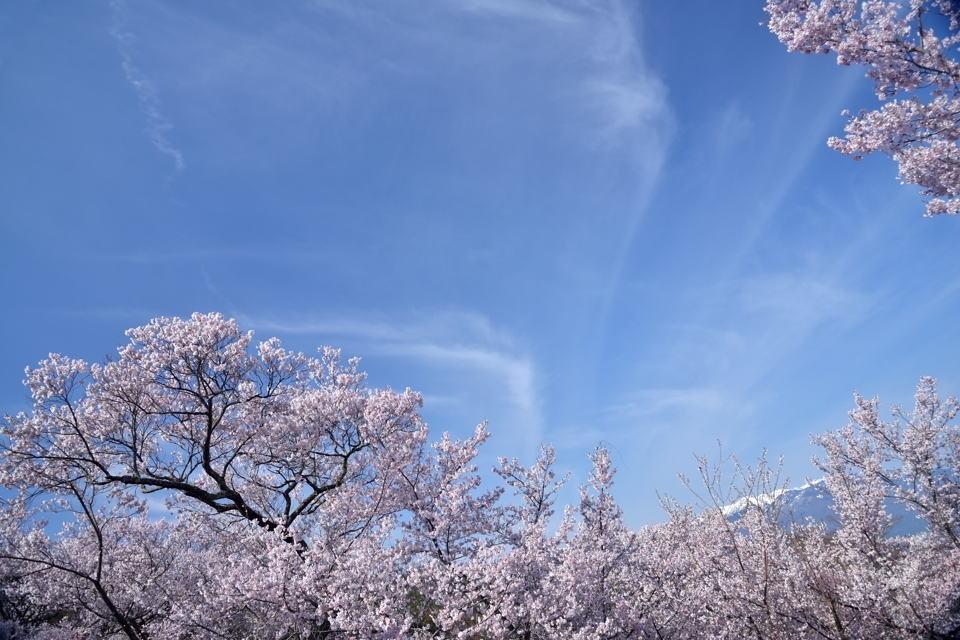 高遠城_桜画像2.jpg