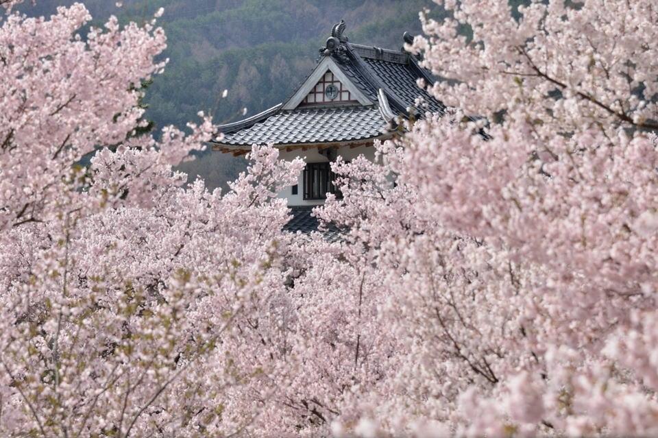 高遠城_桜画像3.jpg