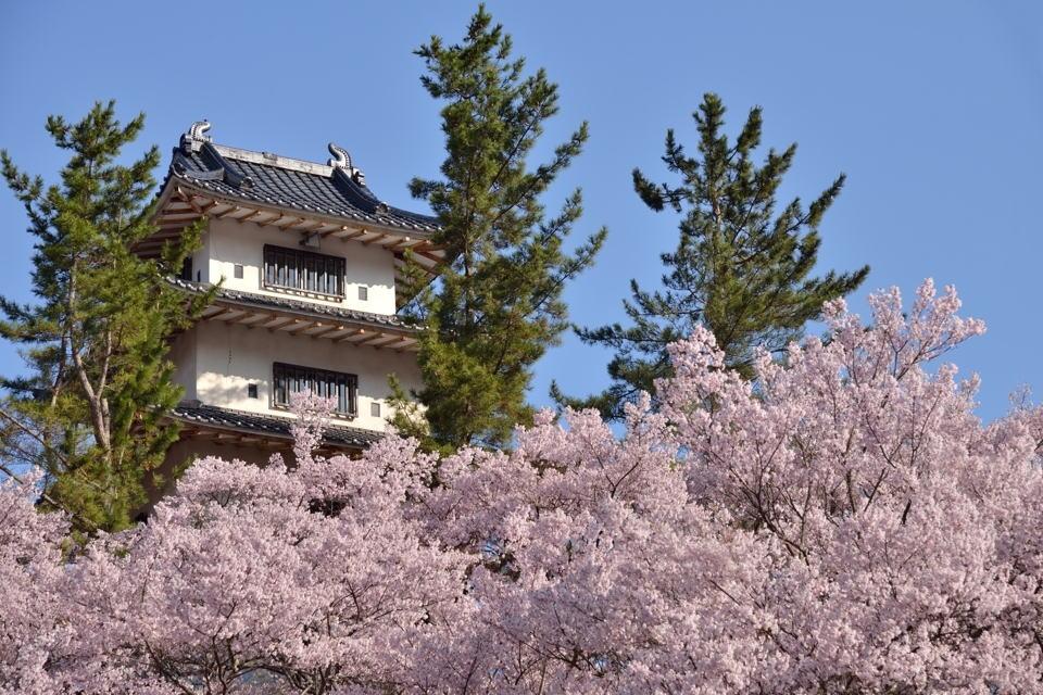 高遠城_桜画像4.jpg