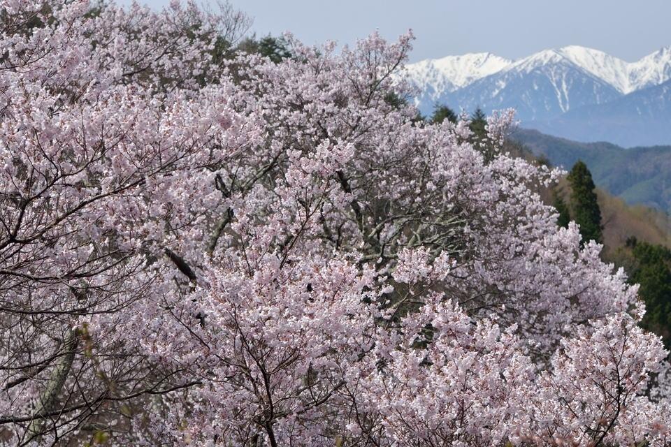 高遠城_桜画像5.jpg