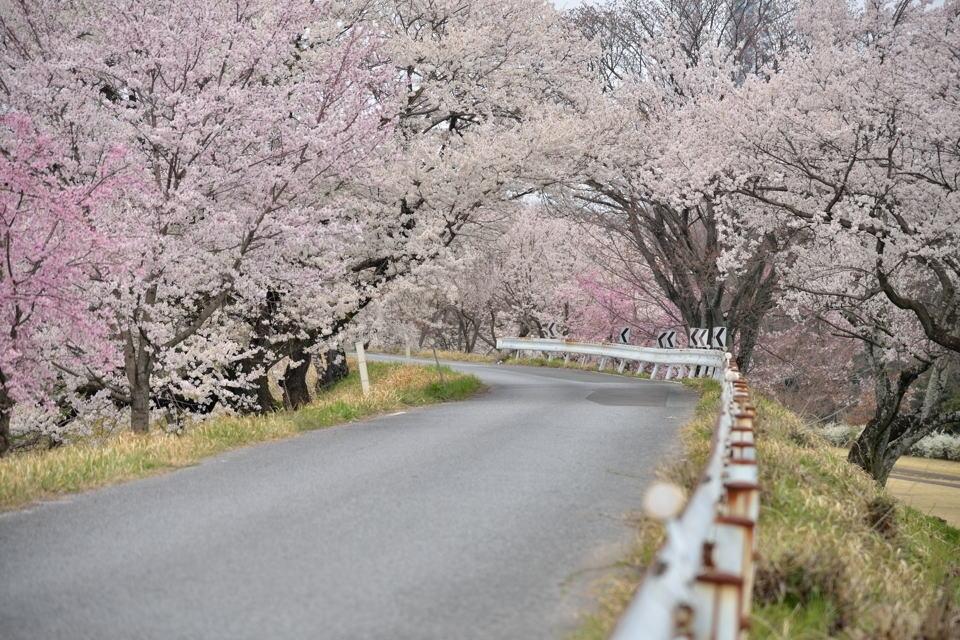 桜写真_木曽川堤1.jpg