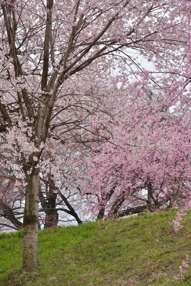 桜写真_木曽川堤3.jpg
