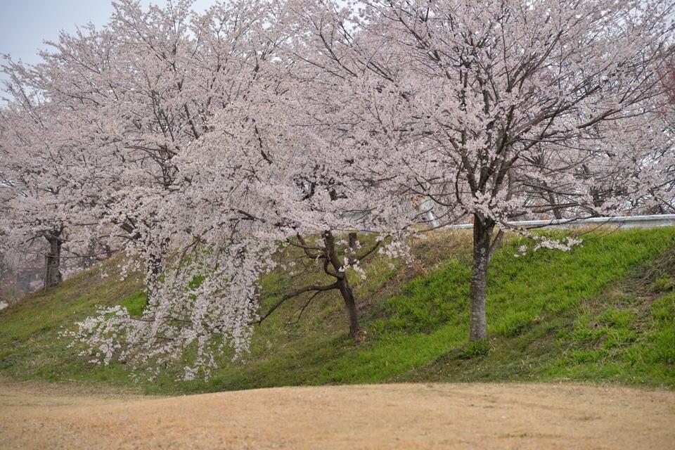 桜写真_木曽川堤4.jpg