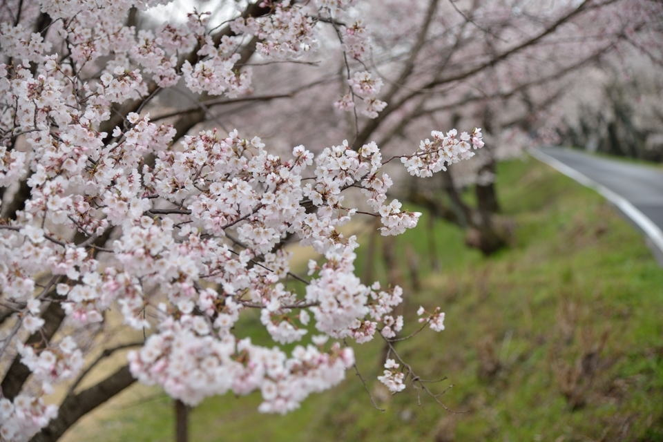 桜写真_木曽川堤5.jpg
