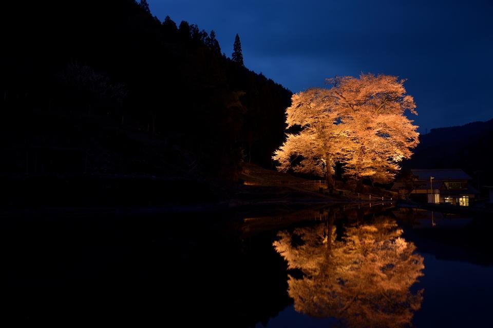 苗代桜_ライトアップ1.jpg