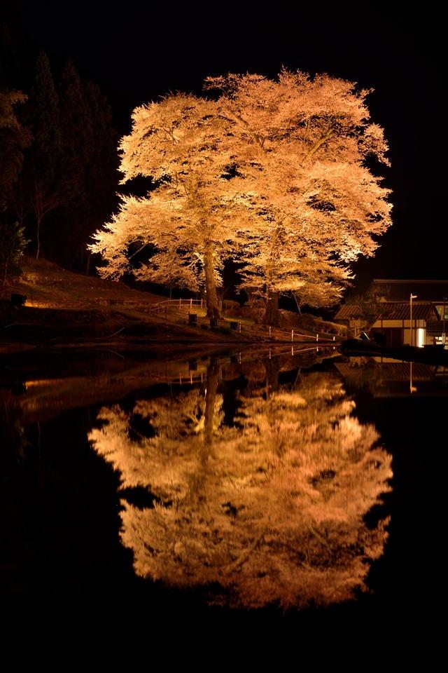 苗代桜_ライトアップ2.jpg
