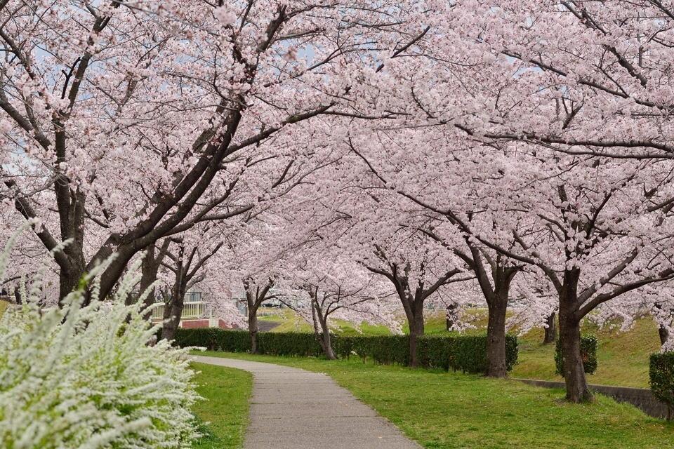 水無瀬川の桜画像1.jpg