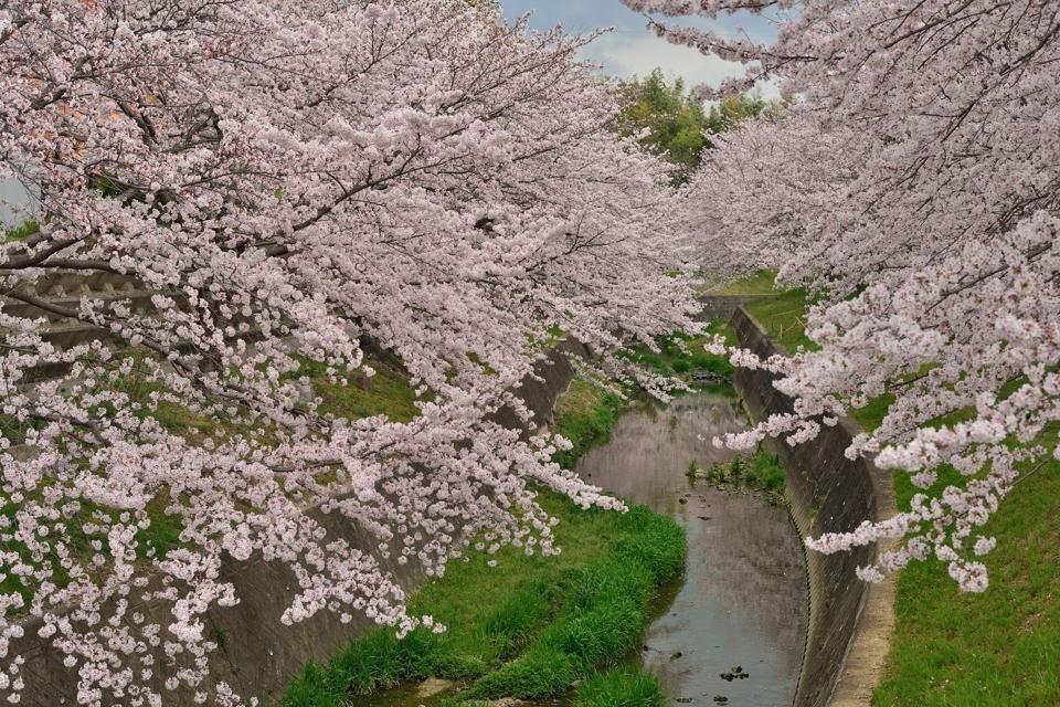 水無瀬川の桜画像2.jpg