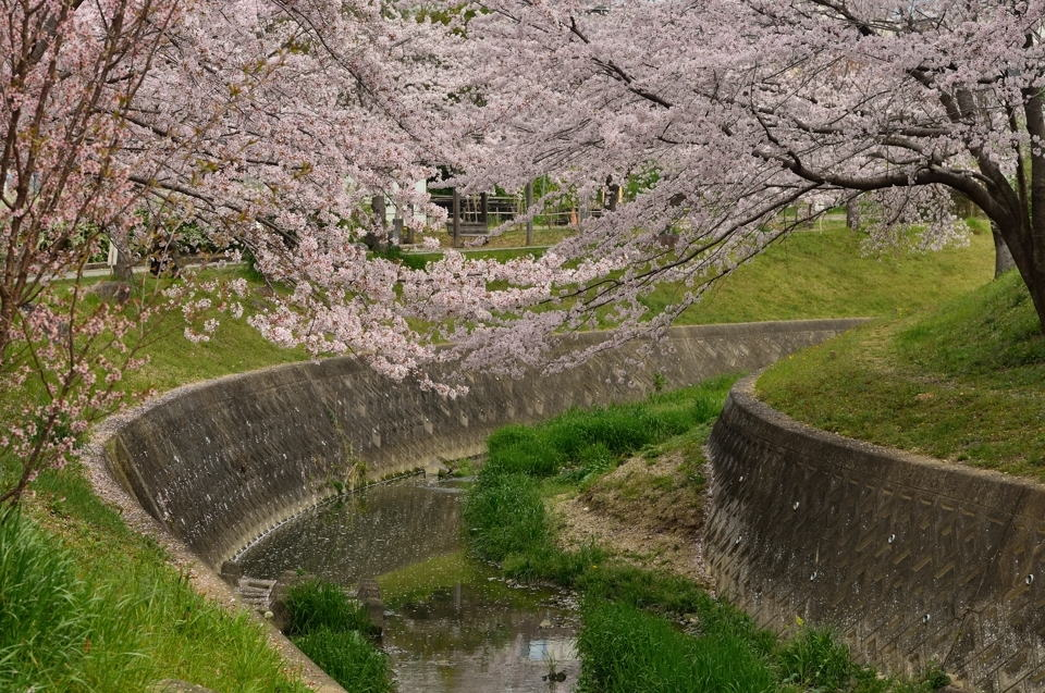 水無瀬川の桜画像3.jpg