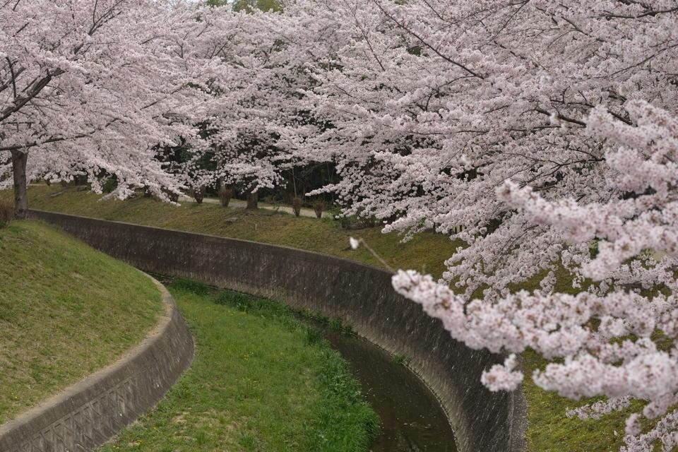 水無瀬川の桜画像5.jpg