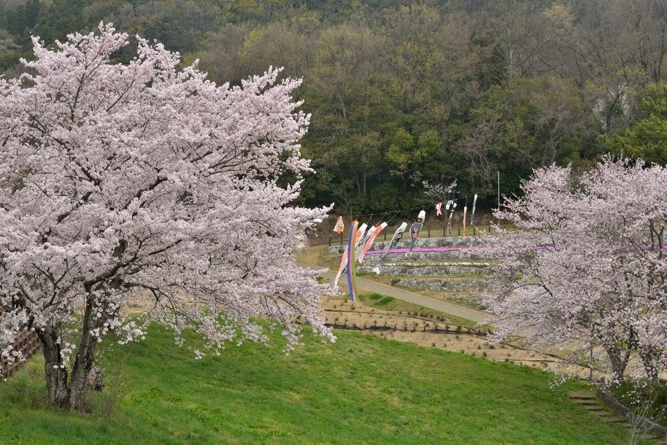 鞍ヶ池公園_桜画像2.jpg