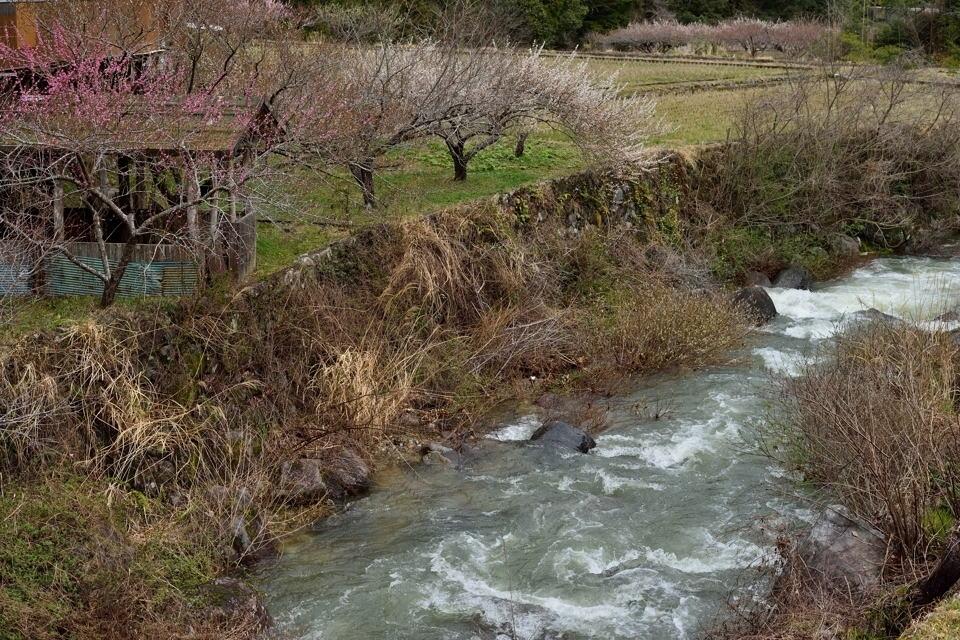 川売の梅_画像2.jpg