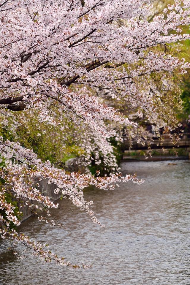 桜写真_祇園白川2.jpg