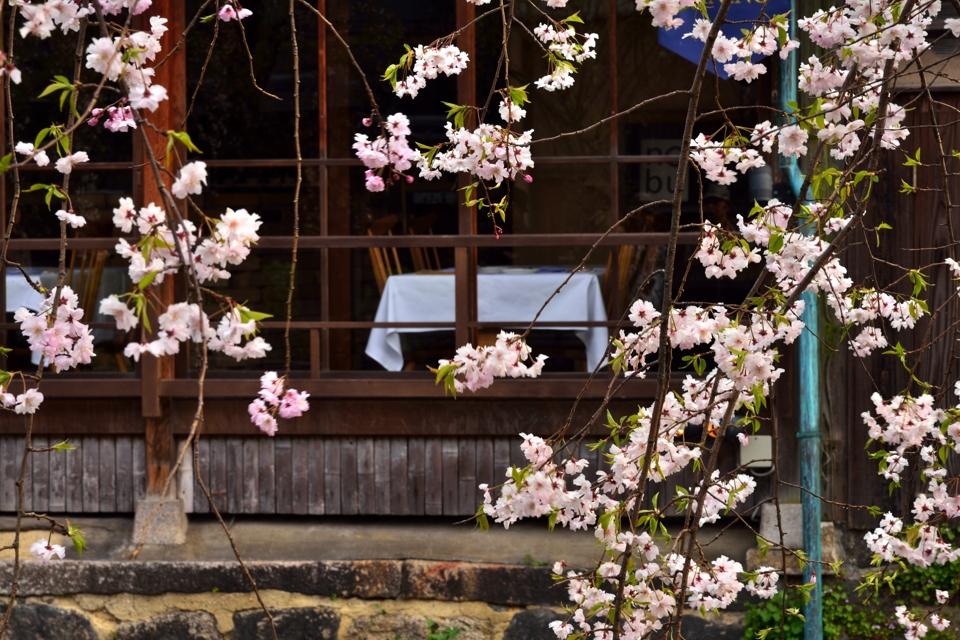 桜写真_祇園白川3.jpg