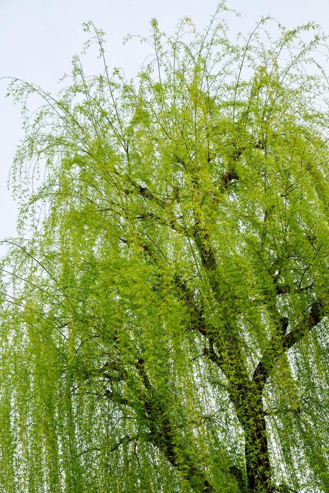 桜写真_祇園白川4.jpg