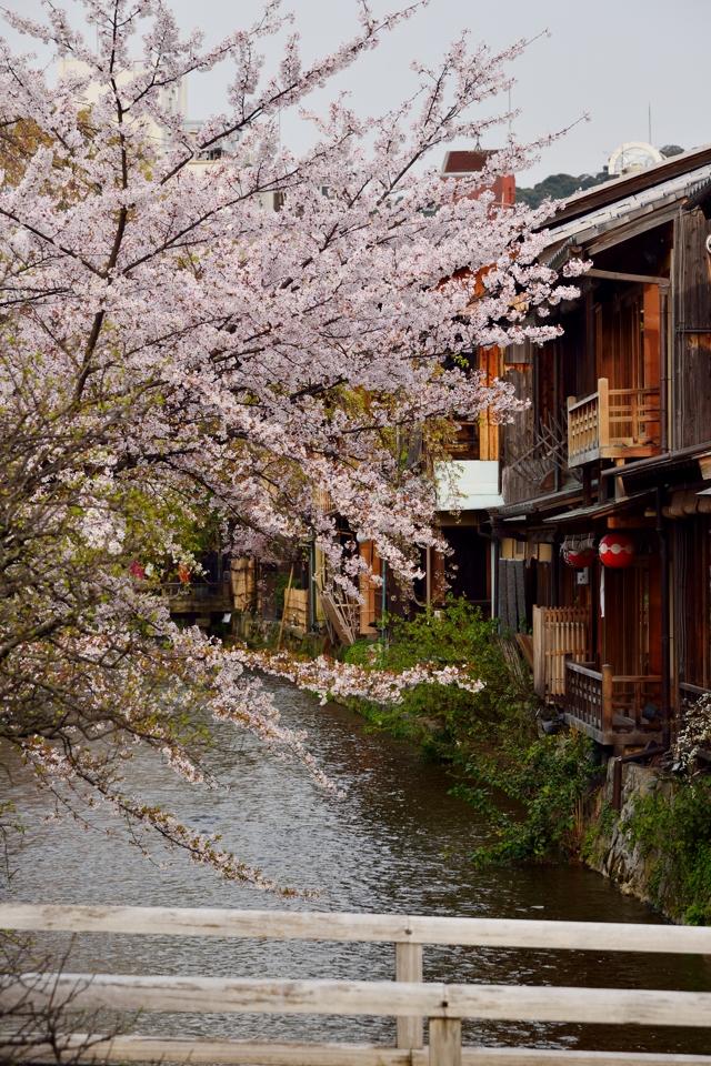 桜写真_祇園白川5.jpg