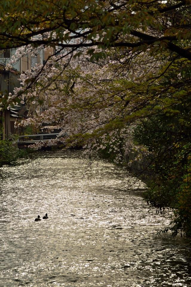 桜写真_祇園白川7.jpg