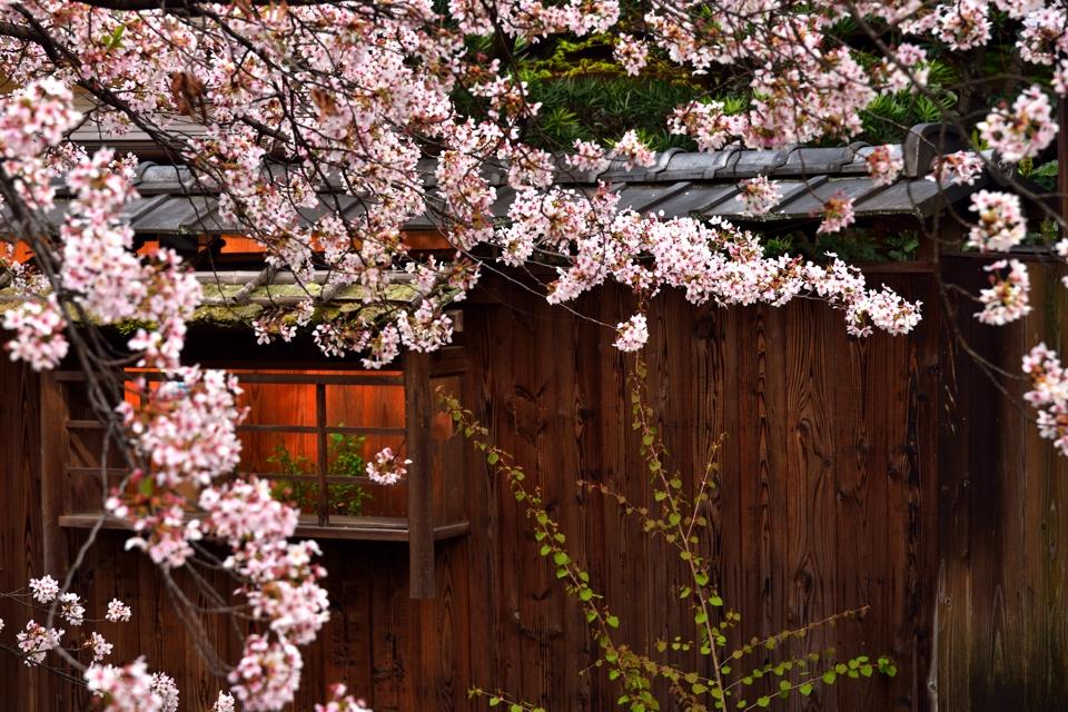 桜写真_祇園白川8.jpg
