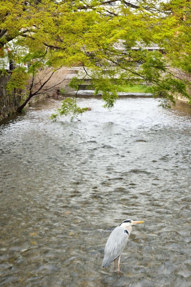 桜写真_祇園白川9.jpg