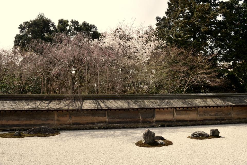 竜安寺_方丈庭園_桜写真1.jpg