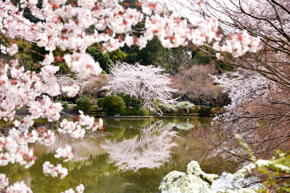 竜安寺_方丈庭園_桜写真2.jpg