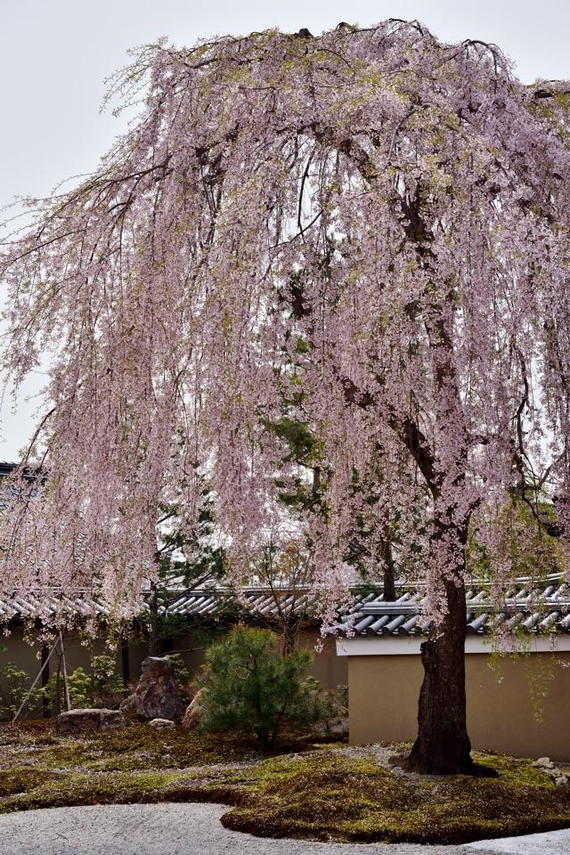 高台寺_枝垂れ桜_写真2.jpg