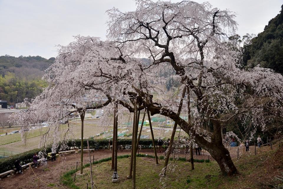 岡崎市_桜の名所3.jpg