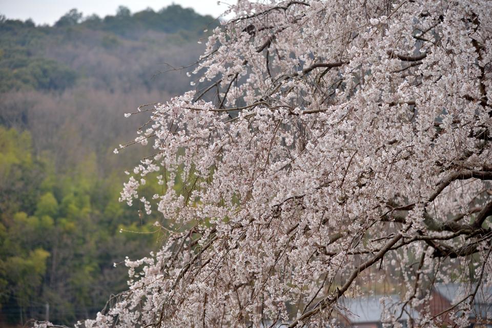 岡崎市_桜の名所4.jpg
