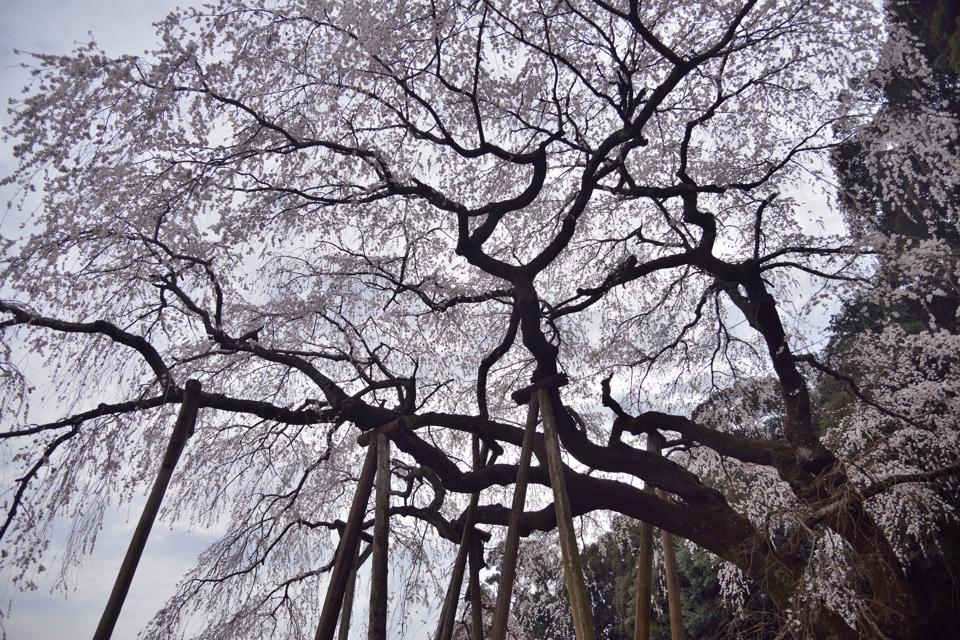 岡崎市_桜の名所7.jpg