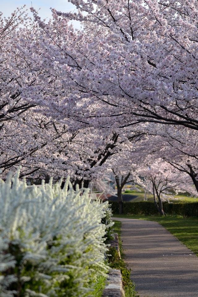 豊田市_水無瀬川の桜2.jpg