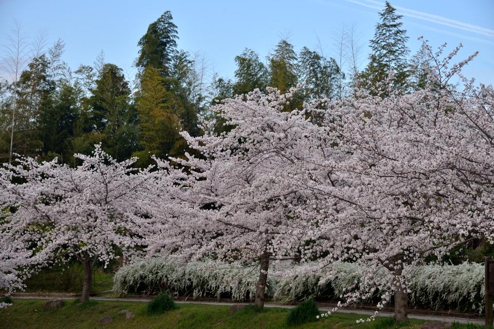 豊田市_水無瀬川の桜3.jpg